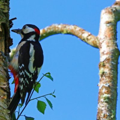 Visitor pic-Woodpecker