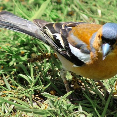 Visitor-pic-goldfinch