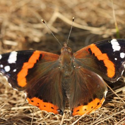 Visitor-pic-red-admiralJPG
