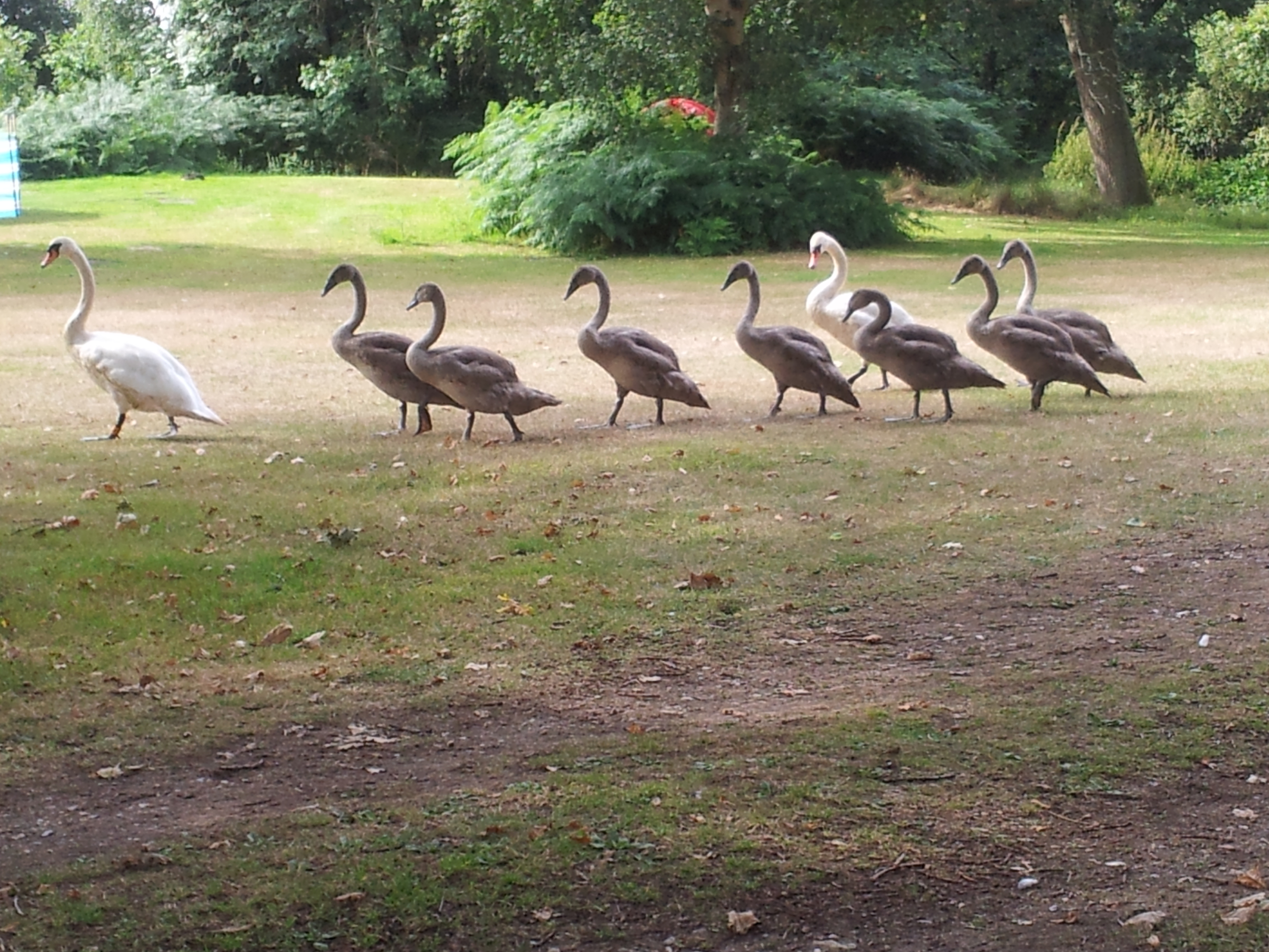 Visitor-picSwan-family-in-park