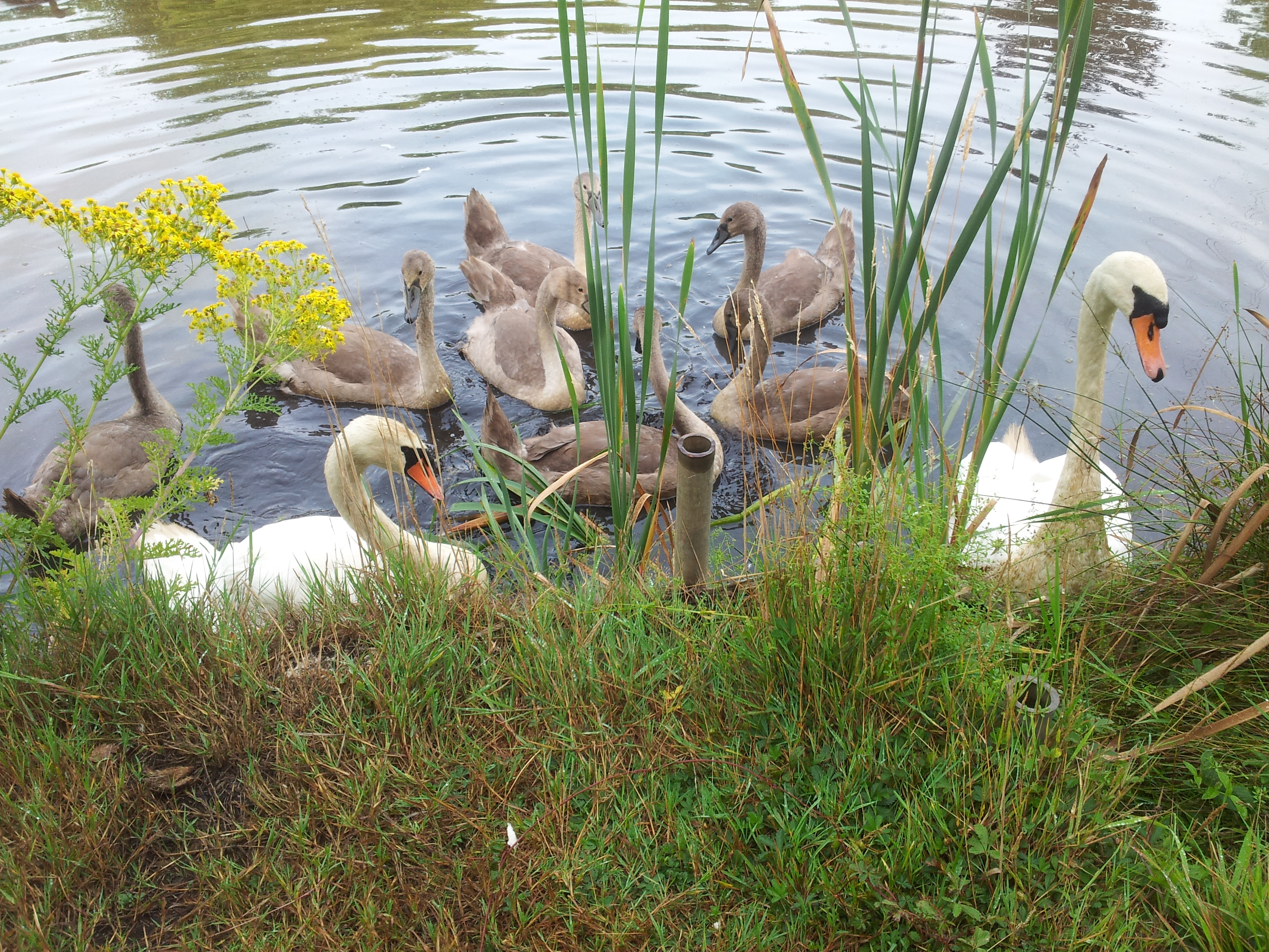 Visitorpic Swan family
