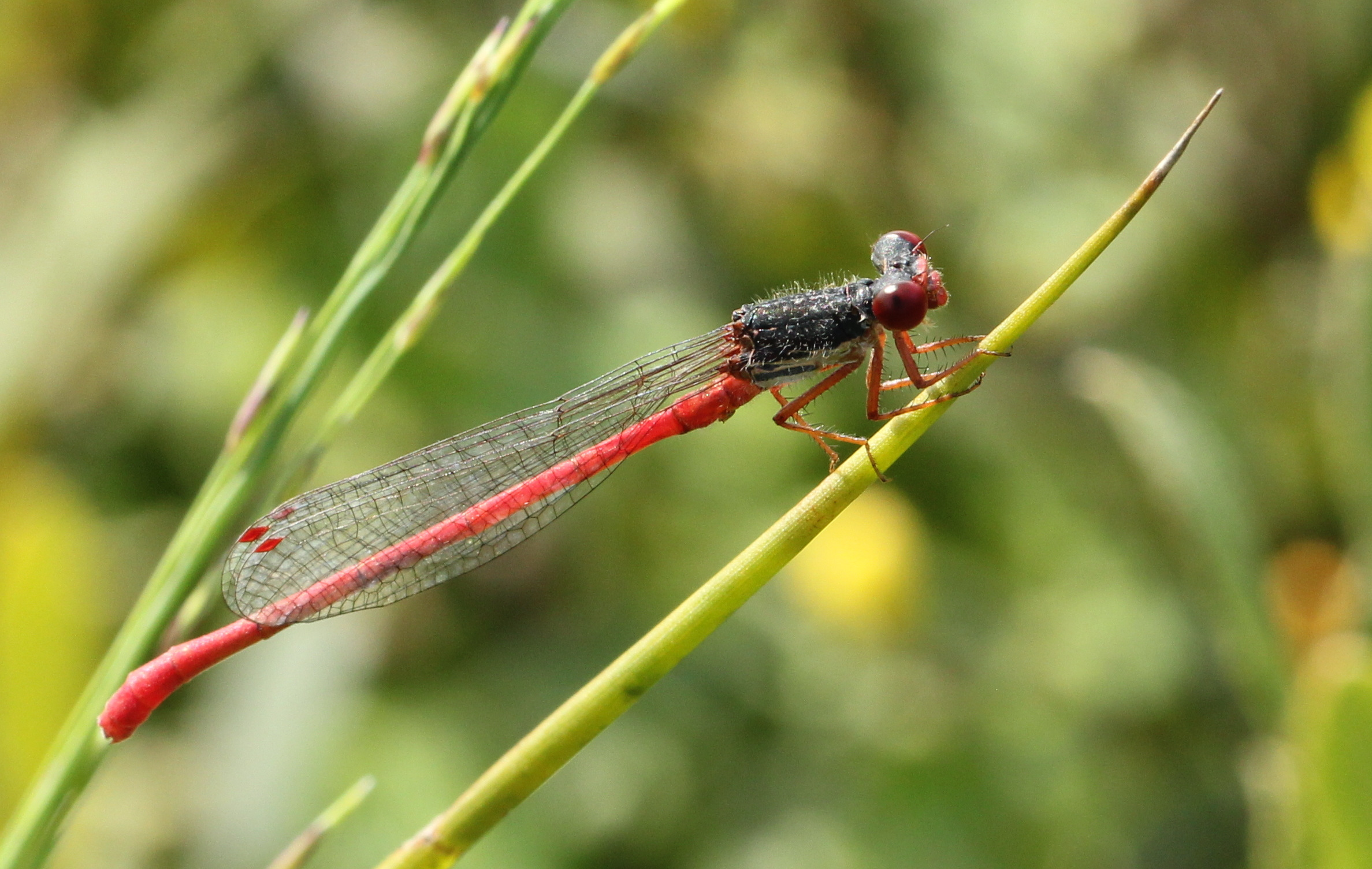 customer pic red dragon fly